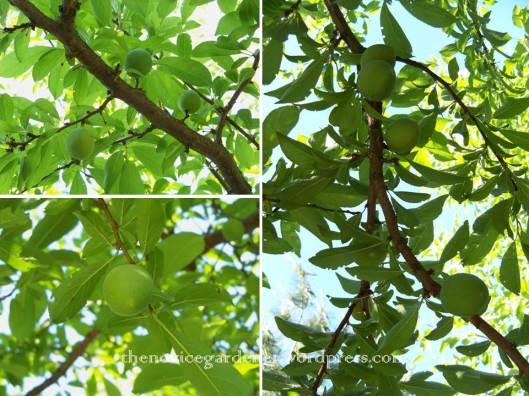 green shiro plums on tree